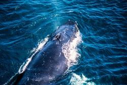Aerial image of Humpback whale, Newfoundland, Canada