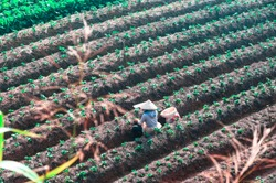 Aerial landscape photo of a Vietnamese woman with an Asian conical hat, planting the new rows of strawberry plants in the strawberry field. Picture taken on a sunny day at Dalat, Lam Dong, Vietnam