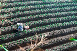 Aerial landscape photo of a Vietnamese woman with an Asian conical hat, working on the field with rows of newly planted vegetables. Picture taken on a sunny day at Dalat, Lam Dong, Vietnam