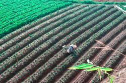 Aerial landscape photo of a Vietnamese woman with an Asian conical hat, working under the sun on the new rows of strawberry plants in the strawberry field. Picture taken at Dalat, Lam Dong, Vietnam