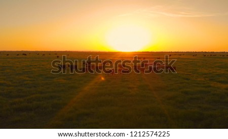AERIAL, LENS FLARE: Flying above a herd of cows migrating across the vast grassy countryside at idyllic sunset. Warm evening sunlight illuminating the cattle walking around pastures in California. #1212574225