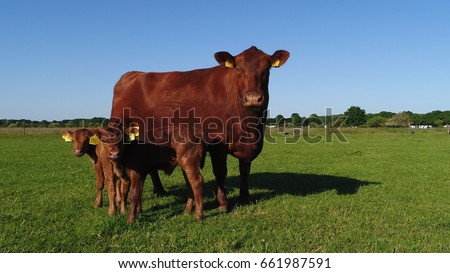 Aerial low altitude photo bird view of Aberdeen Angus cattle mother cow and two twin calfs close together in green field looking at the low altitude camera drone