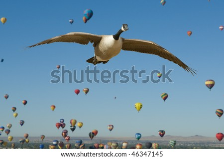 Aerial Migration - This is a composite image of a Canada Goose flying in the foreground during the mass ascension of hot air balloons in Albuquerque, New Mexico.