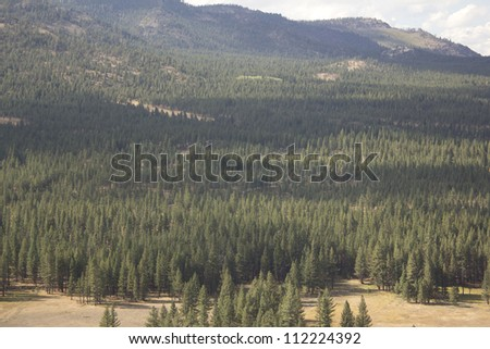 Aerial of a pine tree forest - Dog Valley California