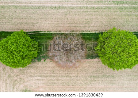 Aerial over dead leafless tree between two lush green trees beside dirt farmland in English countryside