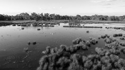 Aerial over wetlands with pelicans and ducks swimming in the swampy water, monotone