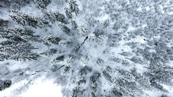 Aerial photo of snow covered treetops with water stream running through forest. Spruce, fir and pine trees in a blue tinted winter scene.