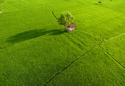 Aerial rice field with beautiful landsacpe and coconut tree, wooden house, farmers in foggy sunlight morning. Aerial Paddy Field