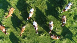 Aerial top-down photo of meadow with red Holstein Friesians cattle grazing grass showing their long shadows from sundown in grass field these cows are usually used for dairy production