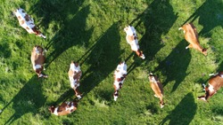 Aerial top-down photo of meadow with red Holstein Friesians cattle grazing showing their long shadows from sundown in grass field these cows are usually used for dairy production