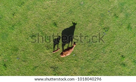Aerial top down photo of red Aberdeen Angus cattle calf and mother cow walking over fresh green grass field these cows are famous for beef they produce and are second most popular beef breeds #1018040296