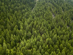 aerial top down view on the green pine forest with fog