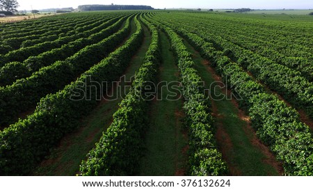 aerial view coffee plantation in Sao Paulo state - Brazil