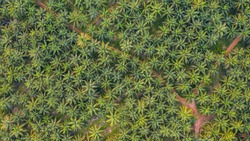 Aerial view, directly above a small footpath through a palm oil plantation in Malaysia. Kilometers of monoculture landscape near Port Dickson, the coast of Malaysia on the strait of Malacca