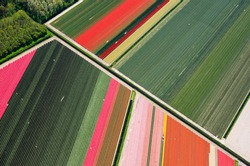 Aerial view flower bulb field Holland spring season diagonal lines