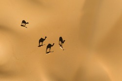 Aerial view from a drone of shadows of a group of dromedary camels walking in the Empty Quarters desert. Abu Dhabi, United Arab Emirates.