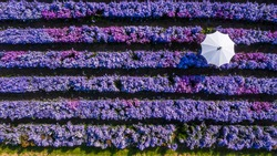 Aerial view margaret flower field with umbrella form above, Rows of Margaret or Marguerite flower, Aerial view beautiful pattern of marguerite flower bulb field, Thailand.