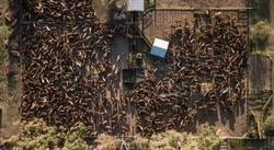 Aerial view of a farm with a stable full of cows, the cattle are waiting to be vaccinated.