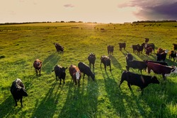 Aerial view of a troop of steers for export, cattle raised with natural pastures in the Argentine countryside.