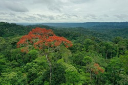 Aerial view of a tropical rainforest on a cloudy day with a large tree covered in red flowers in the foreground