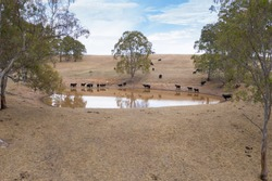 Aerial view of an agricultural water dam with cows outside of Adelaide in South Australia