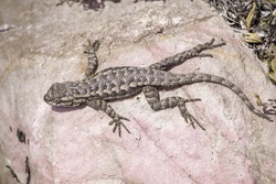 Aerial view of an Western Fence Lizard (Sceloporus occidentalis) sitting on a smooth rock, Pinnacles National Park, California