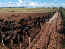 Aerial view of angus cattle on confinement in Brazil