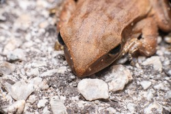 Aerial view of Asian black-spined, black-spectacled, common Sunda and Javanese toad (Chordata, Amphibia, Anura, Bufonidae, Duttaphrynus melanostictus) contrast, stay still on the road full with pebble