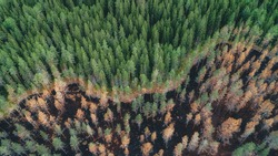 Aerial view of burnt forest after the fire. Burned fir and pine trees. Overhead View of Tree tops. Drone photo.