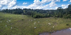 Aerial view of cattle on farm pasture in Chico Mendes Reserve in the Amazon rainforest, Acre, Brazil. Concept of deforestation, environment, agriculture, global warming, co2, climate change.