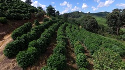 Aerial view of coffee plantation in the state of Minas Gerais - Brazil
