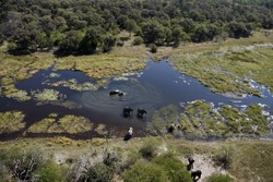 Aerial view of Elephants (Loxodonta africana) in the Okavango Delta in Botswana