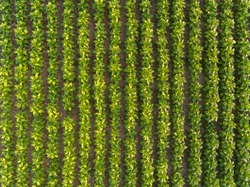 Aerial view of field growing tobacco  in Nakhonphanom Thailand