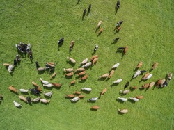 aerial view of grazing cows in a herd on a green pasture in the summer