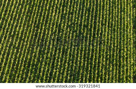 aerial view of harvest  corn field in Poland