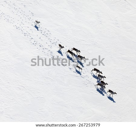 aerial view of herd of reindeer ...