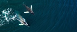 Aerial view of huge humpback whales, Iceland, Europe.