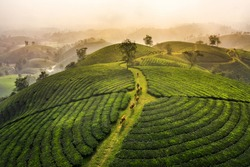 Aerial view of Long Coc tea hill, green landscape background, green leaf. Tan Son, Phu Tho, Viet Nam