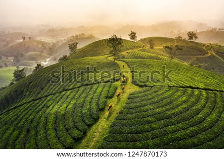 Photo of Aerial view of Long Coc tea hill, green landscape background, green leaf. Tan Son, Phu Tho, Viet Nam