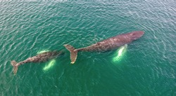 Aerial view of mother and juvenile humpback whales (Megaptera novaeangliae) swimming off the Newfoundland coast.