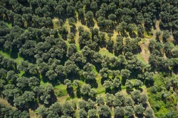 Aerial view of olive trees. Top view of olive tree plantation in the mountains. Italian olive tree gardens on the mountain slopes.