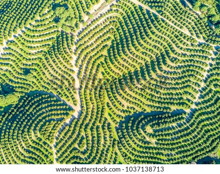 Aerial view of orange tree groves on hills creating organic pattern #1037138713