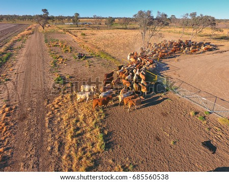Aerial view of Outback Cattle mustering featuring herd of livestock cows and bulls in drought and dusty area. Ready for auction and cattle yards. Complete with sheep dogs and cowboy farmers. #685560538