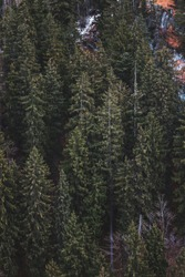 Aerial view of pine tress on mountain
