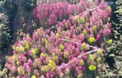 Aerial view of pink cherry blossom trees blooming on the hillside with a hiking trail zigzagging thru the romantic Sakura forest on a bright sunny spring day, in Xinyi Township, Nantou County, Taiwan