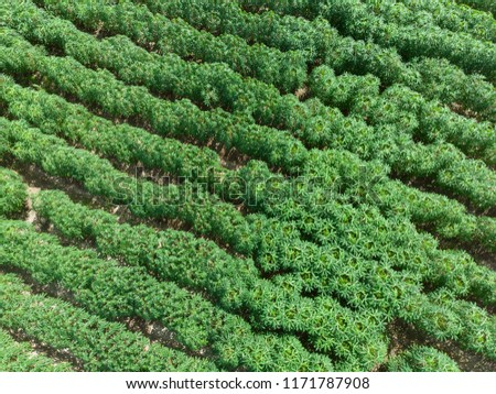 aerial view of potato tree field #1171787908