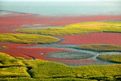 Aerial view of red color East Asian Seepweed on wetland of Suncheonman Bay near Waon Beach, Suncheon-si, South Korea