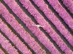 Aerial view of symmetric row of pink chrysanthemum flower farm in full blossom with young woman in white dress walking and twirling in relaxation for spring and summer travel purpose