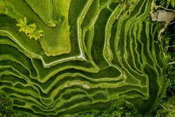 Aerial view of Tegalalang Bali rice terraces. Abstract geometric shapes of agricultural parcels in green color. Drone photo directly above field.