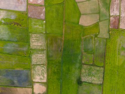 Aerial view of the green and yellow rice field, grew in different pattern,  Thailand, Aerial top view photo from flying drone of green rice fields in countryside Land with grown plants of paddy